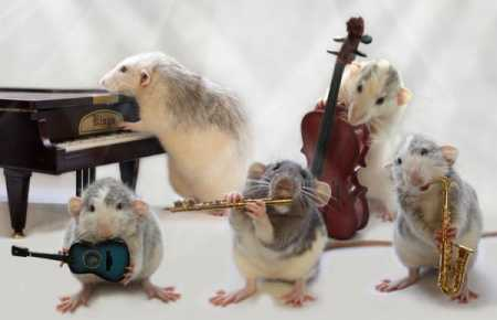 Funny Rat picture gallery  (14)