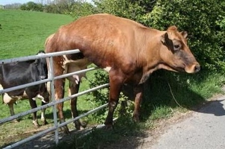Funny-Cow-Hanging-On-Railing
