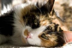 Los-gatos-de-tres-colores-son-siempre-hembras