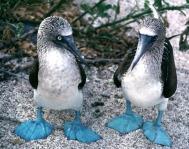 Alcatraz de patas azules piquero de patas azules Sula nebouxii 3