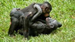 bonobo pair